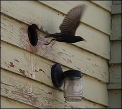 bird removal Garner
