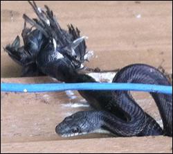 snake removal Garner